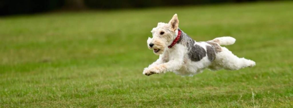 Wire haired fox terrier breeder